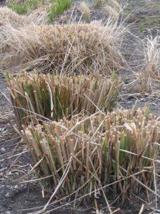 Cięcie wykonuje się wiosną na wysokości 10-20 cm.